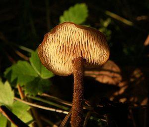 Auriscalpium vulgare 060924