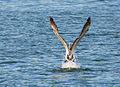 Australian Pelican takeoff.jpg