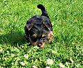 Australian Silky Terrier Pup.jpg