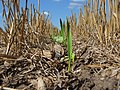 Awesome Cover Crops started in Eastern South Dakota (14941208038).jpg