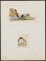 Aythya vallisneria - 1700-1880 - Print - Iconographia Zoologica - Special Collections University of Amsterdam - UBA01 IZ17700031.tif