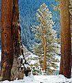Baby Tree, Yosemite NP 5=20=15 (18165323588).jpg