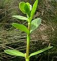 Bacopa monnieri leaf4 (8407021116).jpg