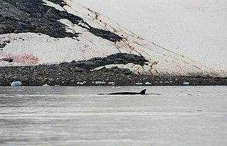 Antarctic minke whale - Antarctic minke whale in Neko Harbour, Antarctica