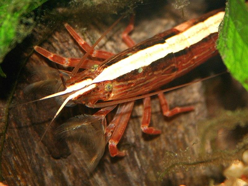 ... shrimp is already quite popular in its native india this shrimp