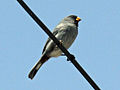 Band-tailed Seedeater RWD.jpg