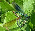 Banded Demoiselles mating pair. Calopteryx splendens - Flickr - gailhampshire.jpg