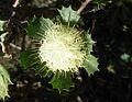 Banksia sessilis var. cygnorum-5.jpg