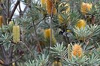 Banksia verticillata and New Holland Honeyeater
