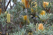 A New Holland honeyeater feeds on one of several cylindrical golden flower spikes partly hidden by foliage.