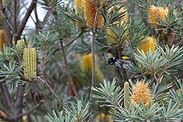 Banksia verticillata and New Holland Honeyeater.JPG