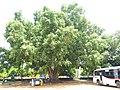 Banyans near Savandurga 6.jpg