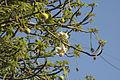Baobab Flowers.jpg