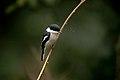 Bar-Winged flycatcher Shrike DSC3833
