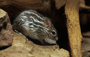 The Barbary Striped Grass Mouse (Lemniscomys b...