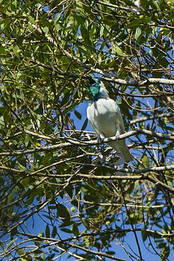 Bare-throated Bellbird - Intervales - Brazil S4E0455 (16215560893).jpg