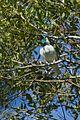 Bare-throated Bellbird - Intervales - Brazil S4E0455 (16215560893).jpg