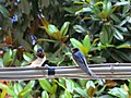 Barn swallow in Vernazza (Italy).jpg