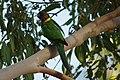 Barnardius zonarius -Gloucester National Park, Western Australia, Australia-8 (1).jpg