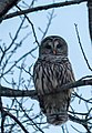 Barred Owl (32131984995).jpg