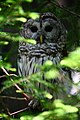Barred owl wildlife 43 - West Virginia - ForestWander.jpg
