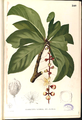 Barringtonia racemosa Blanco2.240-original.png