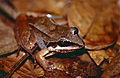 Basin White-lipped Frog (Leptodactylus mystaceus) (10510002335).jpg