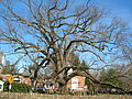 Basking Ridge Oak Tree - Basking Ridge, NJ - November 2012.jpg