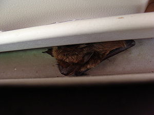 English: Little brown bat (Myotis lucifugus) i...