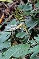 Bauhinia multinervia (Fabaceae) (33908971601).jpg