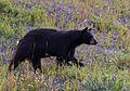 Bear (7041551955).jpg