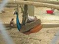 Beautiful peacocks in বঙ্গবন্ধু শেখ মুজিব সাফারি পার্ক.jpg