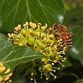 Bee on ivy flowers (37709381521).jpg