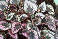 Begonia Phil Seiden 1zz.jpg