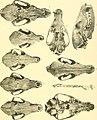Beitrag zur Kenntnis der nordafrikanischen Schakale nebst Bemerkungen über deren verhältnis zu den haushunden, insbesondere uordafranischen und altägyptischen Hunderassen (1908) (20174559150).jpg