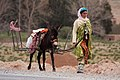 Berber woman with Donkey (15345168315).jpg