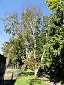 Betula ermanii - Botanical Garden in Kaisaniemi, Helsinki - DSC03473.JPG