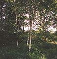 Betula monza.jpg