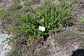 Betula nana ÖBG 2012-05-13 01.jpg