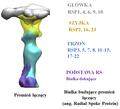 Białka promienia łączacego.png