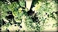 Big Oda Tree.jpg