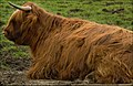 Big Red Hairy Coo (6841012058).jpg