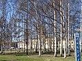 Birches - panoramio (1).jpg
