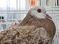 Birds exhibition - Cluj-Napoca - pigeons (3188767770).jpg