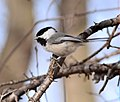 Black-capped Chickadee (25764578711).jpg
