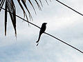 Black Drongo at Madhurawada 02.jpg