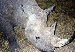 Eastern black rhinoceros - Image: Black Rhinoceros in Sweetwater Nat Park Kenya