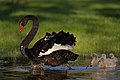Black Swan and Cygnets (30273997756).jpg