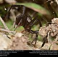 Black Widow (Theridiidae, Latrodectus spp.) (25792610133).jpg