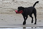 Black dog retrieving a frisbee.jpg